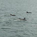  Dolphins in Picton Harbour