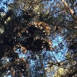  Monarchs in the eucalyptus trees