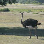 ostrich walking past at breakfast