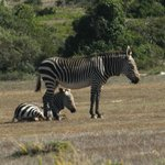 Zebra for company at breakfast