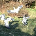  herons at feeding time