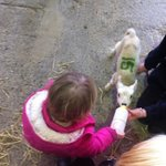  feeding the lambs