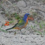 Painted Bunting-birds in Cuba are amazing