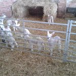  lambs waiting for a feed