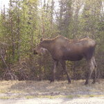  just another moose :)