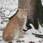  Lynx