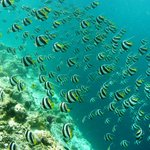 Banner-fish on the house-reef