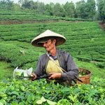 view from resort: tea plantation worker