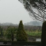 Gold dust growing on the vines behind the hotel (1)