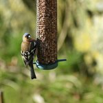  Chaffinch feeding in the well maintained garden.
