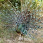 peacock in grounds