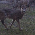  Deer at my window