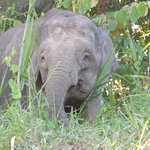 15' away from Pygmy Elephants in the wild.