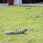 Sun bathing iguanas around the resort