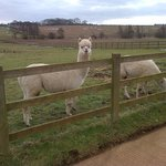Startled Alpaca in 1 of HFG fields :-)
