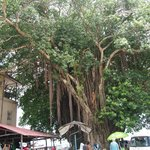  Tree in Stone Town