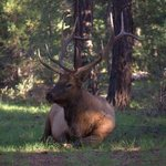 Bull elk right behind our camp