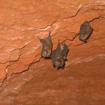 Bats at the German Bunker in Magambo Forest Reserve