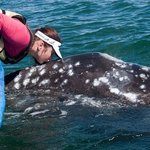 Kissing a baby grey whale in March 2013