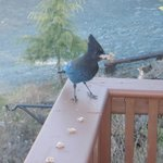  Stellar Jay