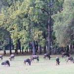 "Wildebeest ""mowing the lawn"""