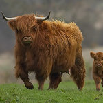 Friendly Highland coo