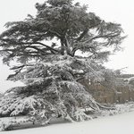  The most amazing snow covered cedar tree in front of the castle ever