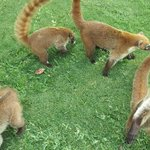  Coati