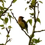 Cedar Waxwing at Waterton River Suites