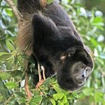 Howler monkeys in the trees at the Villas