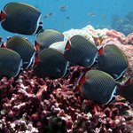  Red Tail Butterfly fish Similan Islands