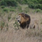  Male Lion (Nook)