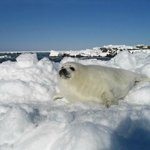 """young seal on the ice"""