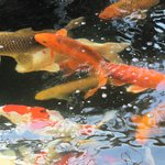  Koi looking for their next meal