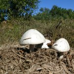 Mushrooms growing in rhino dung