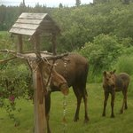  Moose visiting the bird feeder