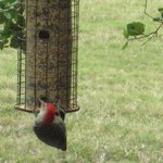 Woodpecker at feeder in Lori Wilson Park