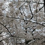 Maruyama park walk at 6am, 5 minutes south of KTI: This is how I started my walk!  Cherry trees!