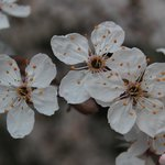  Almendros en flor