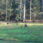  Turkeys near pond view from Cabin 8