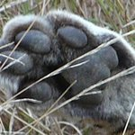  Male Leopard Foot