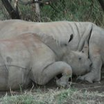  Rhinos sleeping on our morning drive