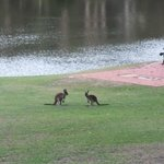  Our Evening Kangaroos
