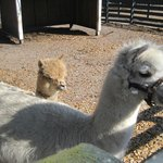  Baby and mama alpacas.