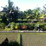  View of pool and rice paddy from balcony of room