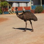Emu checking up on us at Ningaloo