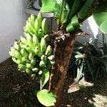 Bananas growing near the dive rinse tank at the apartments