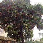 orange tree on terrace