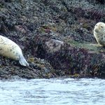  a pair of female seals