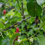  Garden crimson sunbird